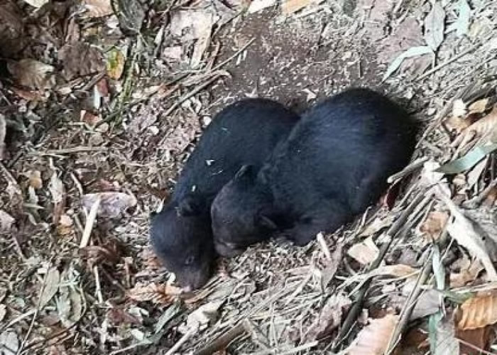 贵州雷公山保护区工作人员拍摄到两头野生黑熊。