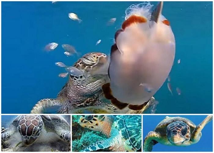 """科学家发现海龟懂得出""""手刀"""",下图左起为绿蠵龟、玳瑁和赤蠵龟。"""