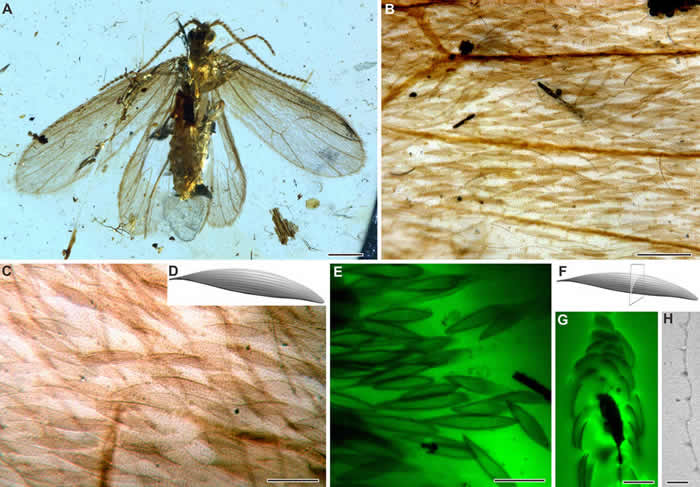 缅甸琥珀中飘翅目昆虫及其鳞片结构