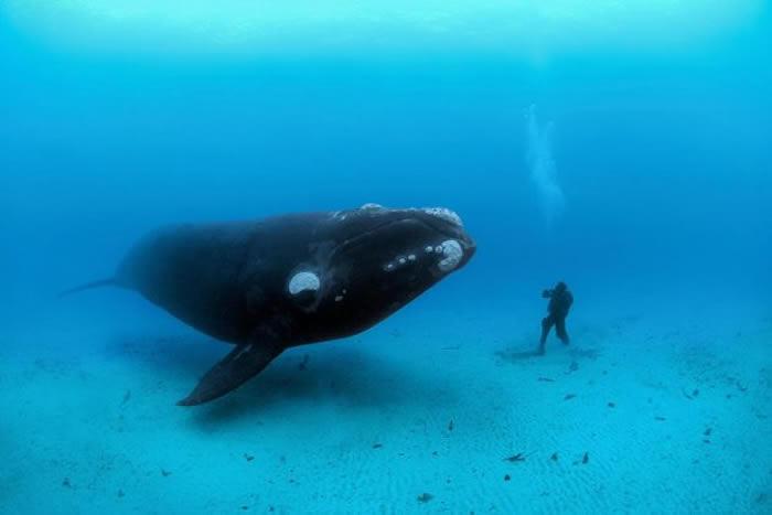 一头南露脊鲸在新西兰奥克兰群岛外接近一名潜水员。 PHOTOGRAPH BY BRIAN J. SKERRY, NATIONAL GEOGRAPHIC CREA