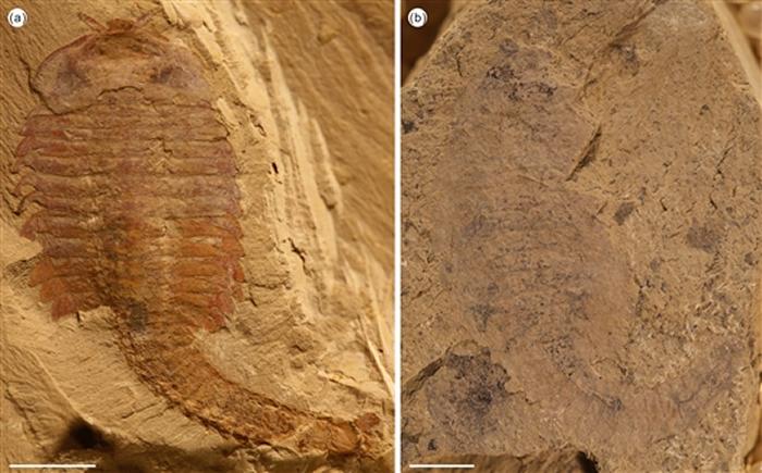 寒武纪节肢动物抚仙湖虫在不同的埋藏条件下呈现出不同的形态,比例尺为5mm