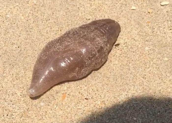 英国游客在泰国兰塔岛海滩发现外表似海参的神秘海洋生物