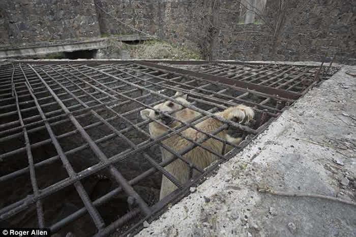 """亚美尼亚9岁雌性敍利亚棕熊""""Masha""""被困笼中多年终重获新生"""