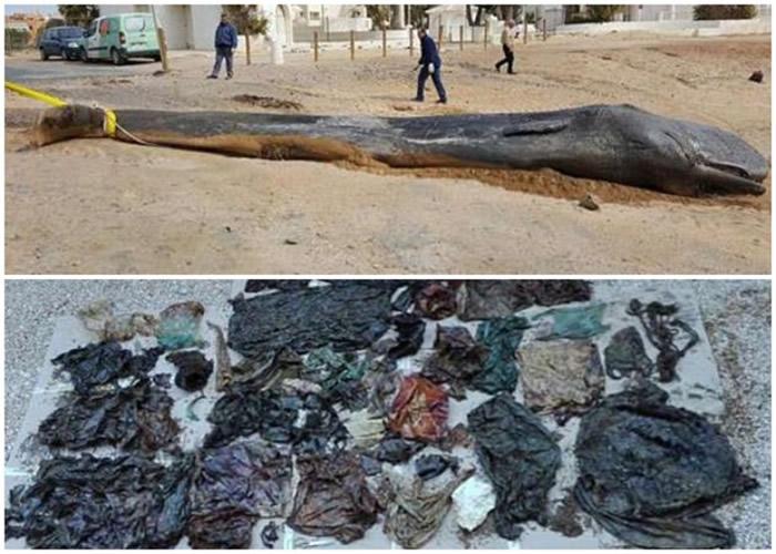 抹香鲸陈尸西班牙东南部城市莫夕亚海滩 体内藏29公斤海洋垃圾