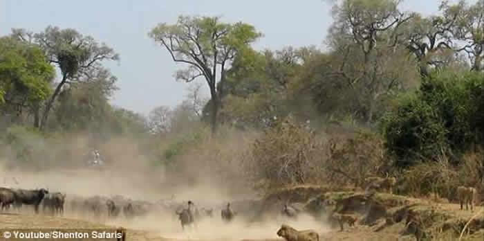 赞比亚国家公园上演水牛大战万兽之王狮子