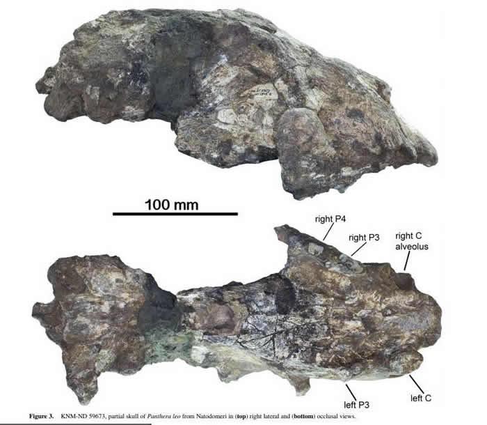 古生物学家在肯尼亚西北部的Natodomeri发现最大穴狮头骨化石