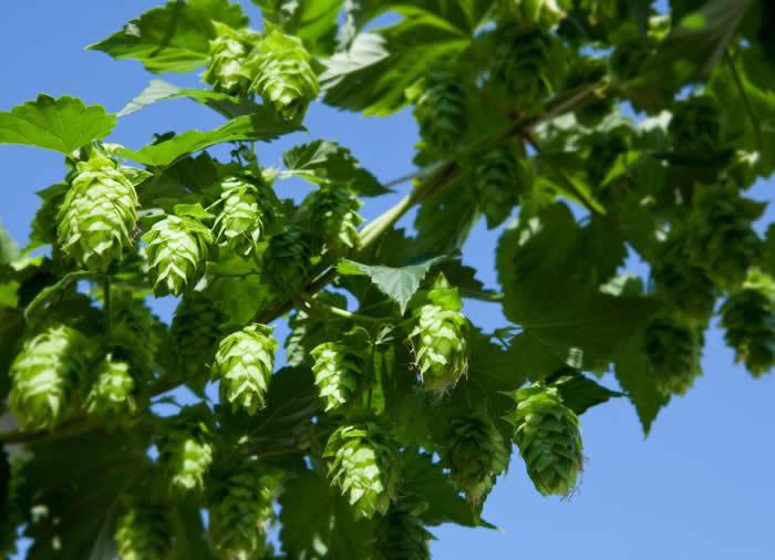 俄勒冈威拉米特谷(Willamette Valley)的新鲜啤酒花已经可以采收了。植物学家兼环球旅行家大卫‧费尔柴,把德国巴伐利亚的啤酒花带回了美国