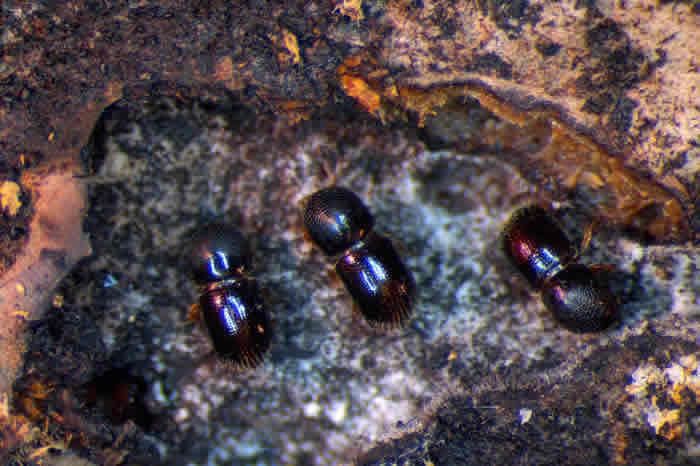 菌蠹虫是世界上第一批农夫;它们的先祖在超过1亿年前演化出这项特征。 PHOTOGRAPH BY CHRISTOPHER RANGER