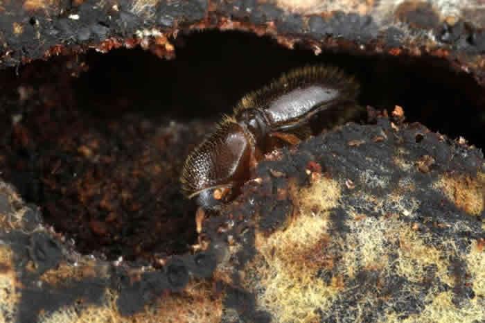 一只雌性小粒绒盾小蠹挖掘隧道,通过人造基质。 PHOTOGRAPH BY GERNOT KUNZ, INSTITUTE OF ZOOLOGY, UNIVERSI