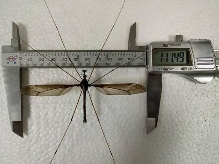 四川成都华希昆虫博物馆宣布发现世界上最大的蚊子——巨大蚊Holorusia mikado