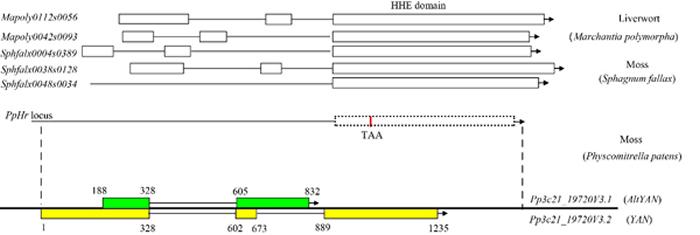 双编码基因YAN/AltYAN的基因结构及演化过程