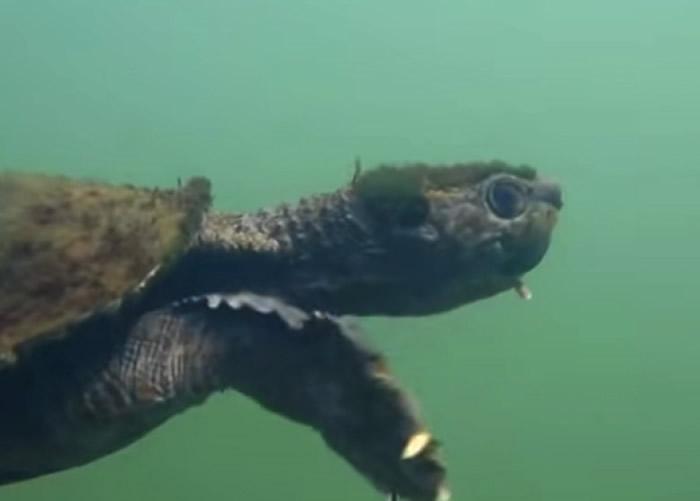 隐龟列入濒临绝种的物种名单。