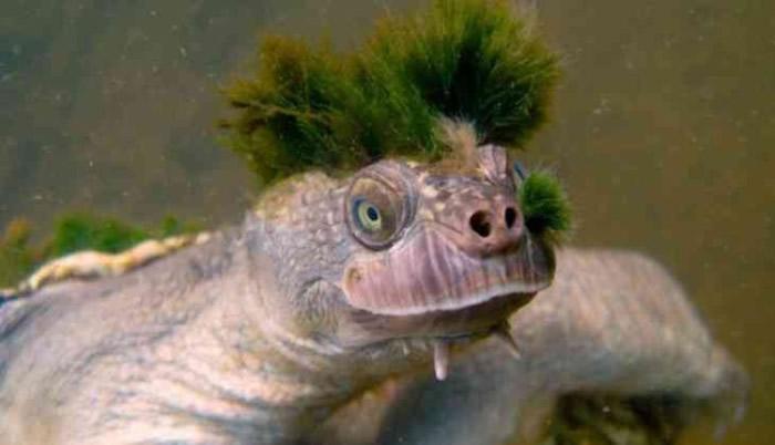 隐龟头部似Punk头,十分独特。