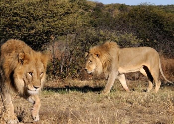 乌干达伊利沙伯女王国家公园11狮子离奇死亡 或遭毒杀