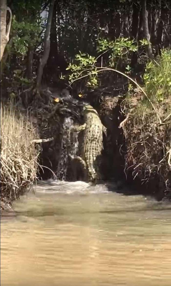 """澳洲北领地凯瑟琳镇巨鳄爬小瀑布""""逃走""""不果跌落河"""