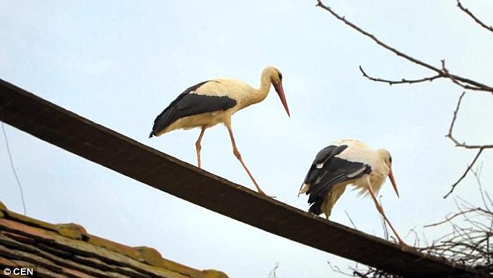《旅游与休闲》杂志:南非鹳鸟连续16年春天飞到克罗地亚去看望受伤妻子