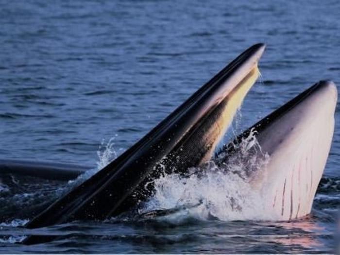 """经专家鉴定,涠洲岛大型鲸类物种为""""布氏鲸""""。"""