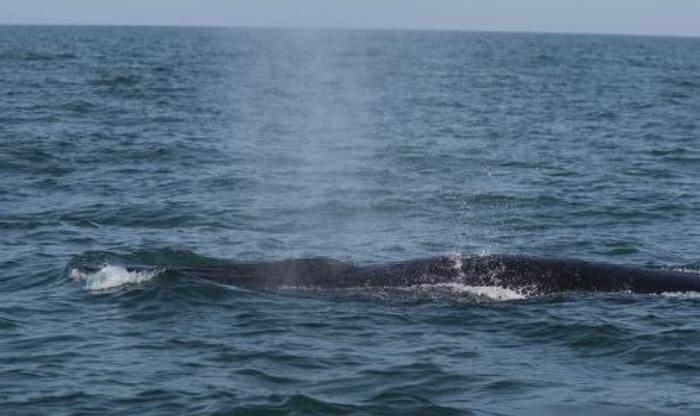 涠洲岛海域惊现大型鲸鱼群。