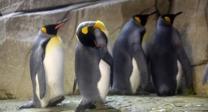 帝国企鹅潜水时间破世界纪录