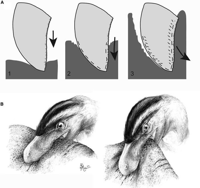 《当代生物学》:恐龙牙齿磨损揭示其掠食生活