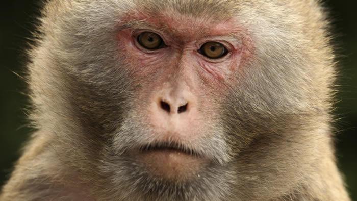 血压调节激素可能是猴子社交活动的关键性标志