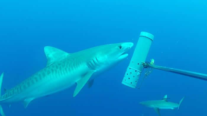 虎鲨和灰礁鲨。(IRD / Laurent Vigliola)