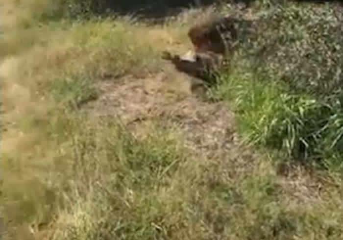 南非野生动物园园主检查令狮子不安的怪味时突遭雄狮袭击