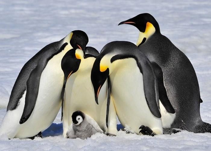 科学家追踪到有皇帝企鹅潜水长达32.2分钟。(资料图片)