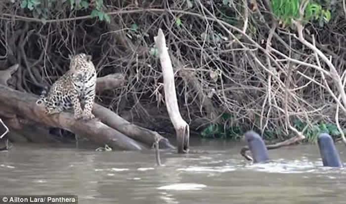 巴西圣洛伦索河美洲豹河边休憩遇凶恶水獭被吓跑