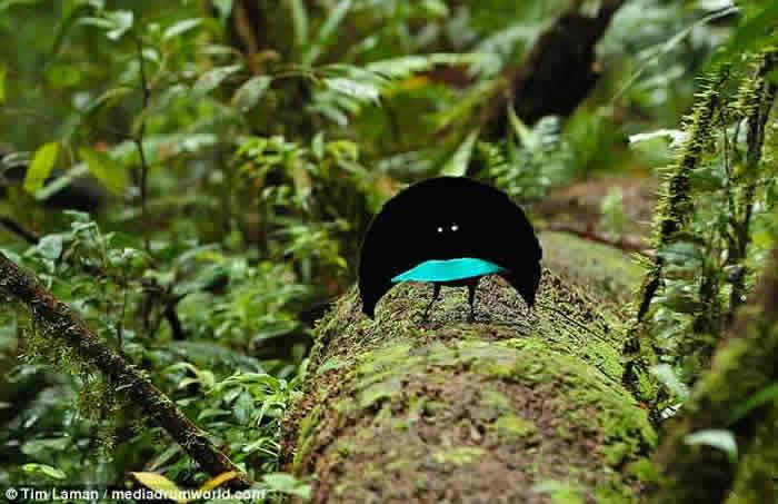 """大洋洲国家巴布亚新几内亚发现全新鸟类物种""""福格科普"""" 外型酷似天堂鸟"""