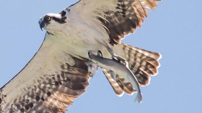 美国佛罗里达州捕鱼的鲨鱼又被猛禽捕获