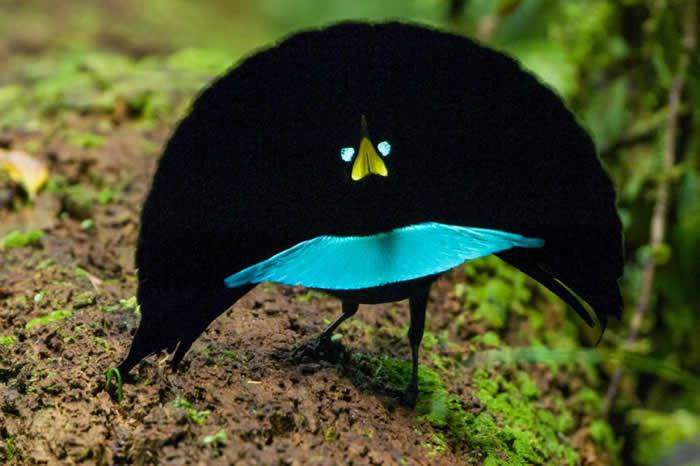 这种鸟有着世界上最黑的羽毛。为了吸引配偶,它们翻转在背后犹如披肩般的饰羽,并沿着半圆的步伐跳起求偶舞。 PHOTOGRAPH BY TIM LAMAN