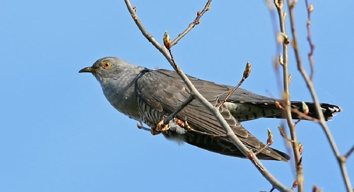 《Journal of Field Ornithology》:俄罗斯杜鹃扩张栖息地到阿拉斯加