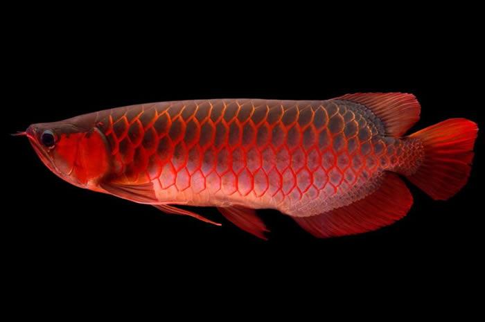 中国人相信,亚洲龙鱼(也就是红龙)可以带来好运和财富,因为它色彩艳红,鳞片仿佛钱币一般闪耀。 COURTESY OF EMILY VOIGT, VIA QIAN