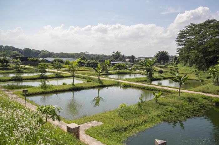野外的亚洲龙鱼数量极少,都藏身在婆罗洲的丛林深处。大部分的龙鱼都是从养殖场繁殖出来的,就像叶金利的仟湖集团旗下这座位于新加坡的养殖场。 COURTESY OF