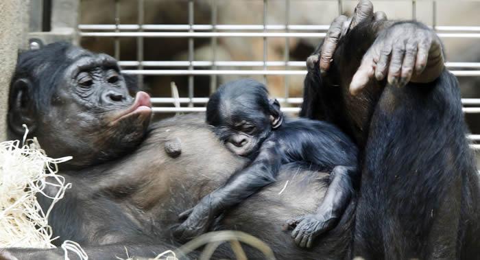 """《皇家社会开放科学》:研究发现黑猩猩的""""床""""比人的床干净"""