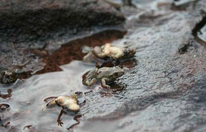 学者呼吁全球尽快暂停买卖两栖动物,否则会进一步破坏它们的生物多样性。