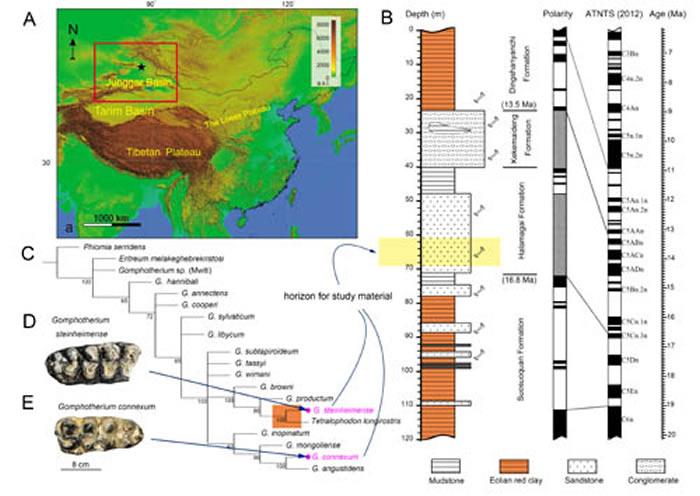 研究材料的地理位置、地层背景与嵌齿象属的系统发育树(吴妍供图)