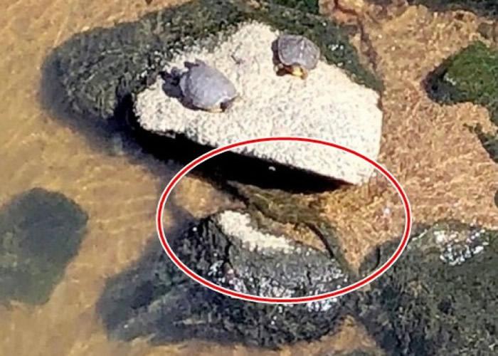 早在上周六(12日)下午2时许,已有人拍得该疑似鳄鱼(红圈内)在河中出现。