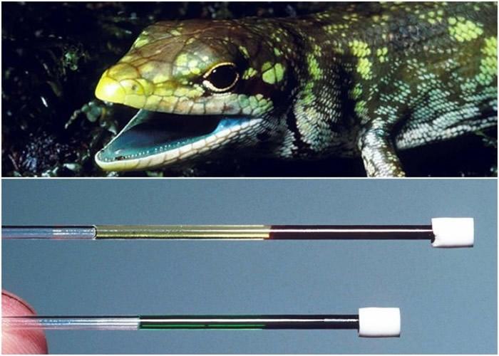 南太平洋新几内亚绿血蜥蜴 胆绿素可助对抗疟疾寄生虫