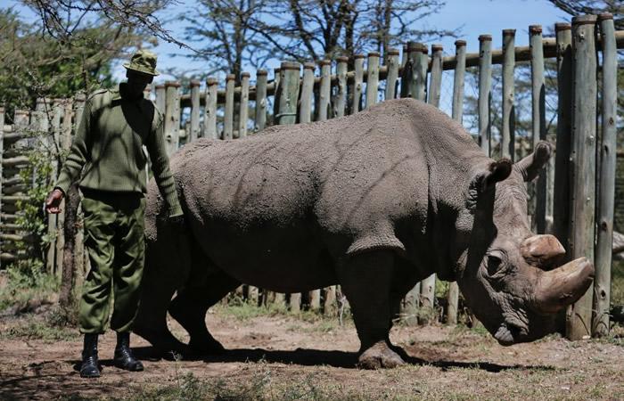 全球最后一只雄性北方白犀牛苏丹今年3月于肯尼亚逝世。