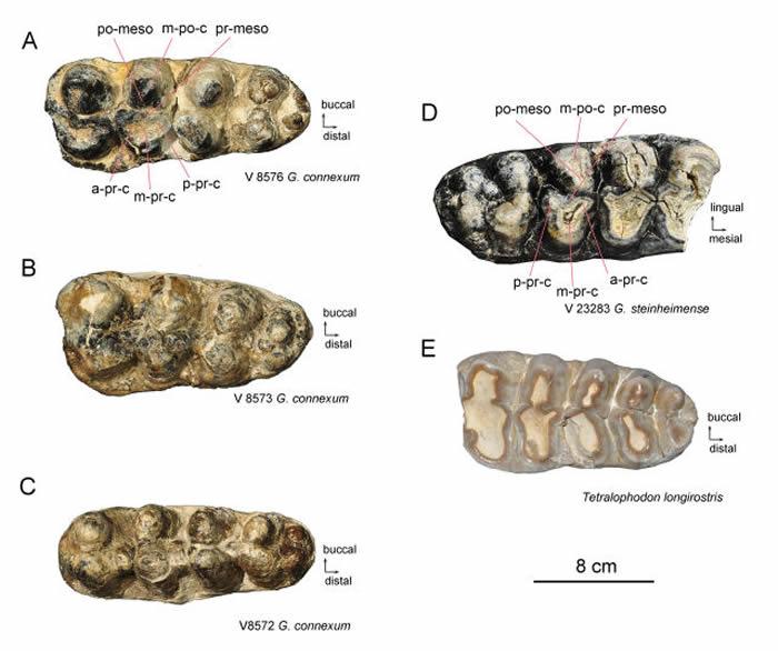嵌齿象的臼齿化石