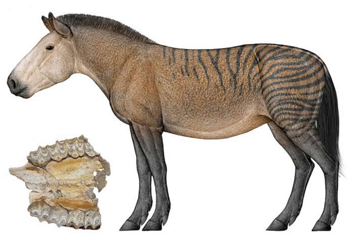 福氏三趾马上颌化石及复原图(陈瑜绘)