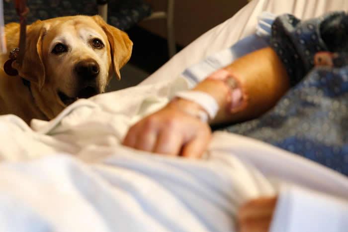 一只名叫塔克(Tucker)的治疗犬在2018年3月6日于波士顿麻省总医院(Massachusetts General Hospital)陪伴病患吉姆.考利(J