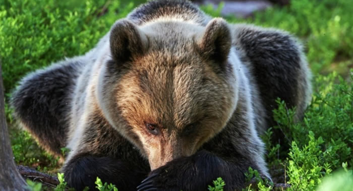 """狗熊""""帮助""""两名迷路的俄罗斯年轻人走出森林"""