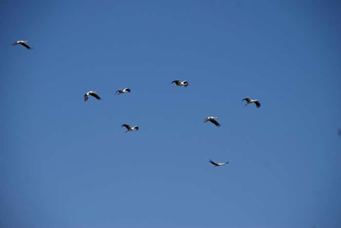 一群正在飞的白鹳