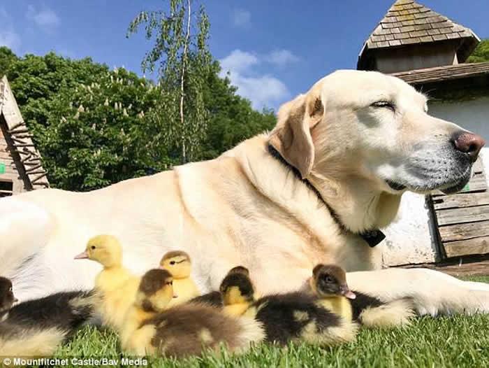 英国埃塞克斯郡一只拉布拉多收养了9只孤儿小鸭