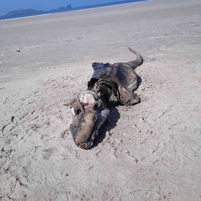 """英国威尔斯海滩惊现已经腐烂的""""外星生物"""""""