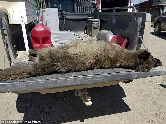 狼人还是卓柏卡布拉?美国蒙大拿州居民在自家牧场附近射杀神秘野生动物