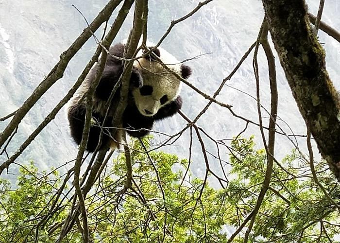 一只野生大熊猫宝宝在树上移动后,安然大睡。